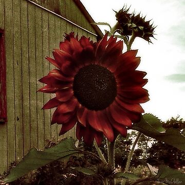 Sunflower by franmcclellan