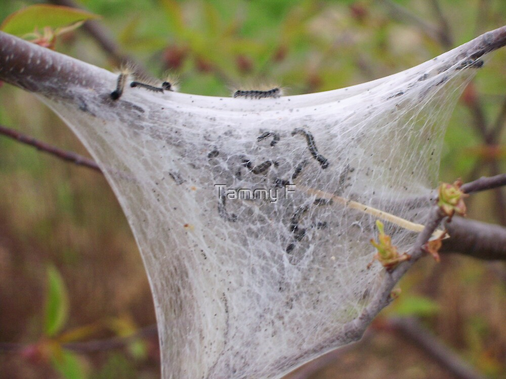 Caterpillar Web by Tammy F
