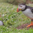 Looking down a Puffin's hole by peaky40