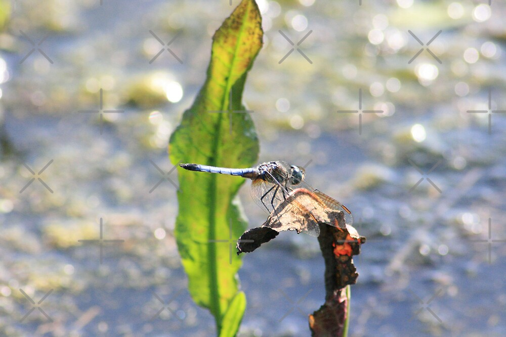 Blue Dragonfly by connie campbell