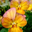 Pansy by Kimmi