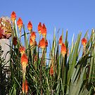 Red Hot Pokers by oiseau