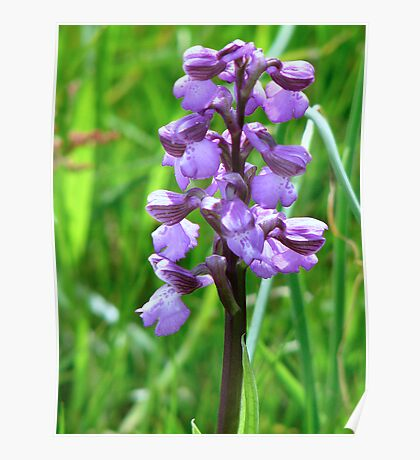 Green Winged Orchid Poster