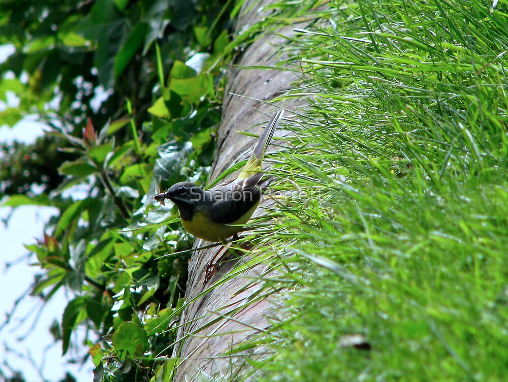 Grey Wagtail 2 by Sharon Perrett