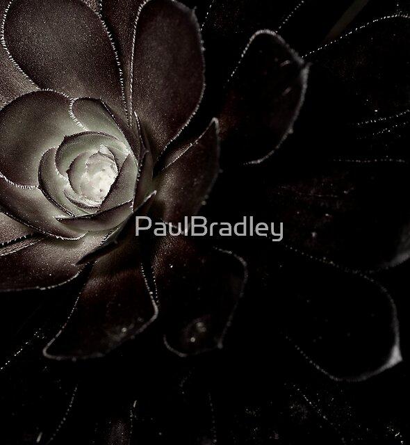 Aeonium by PaulBradley