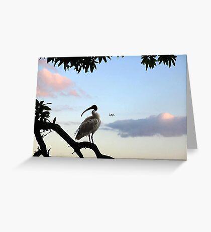 australian white ibis Greeting Card