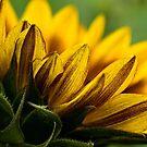 Du bist mein Sonnenschein von Celeste Mookherjee