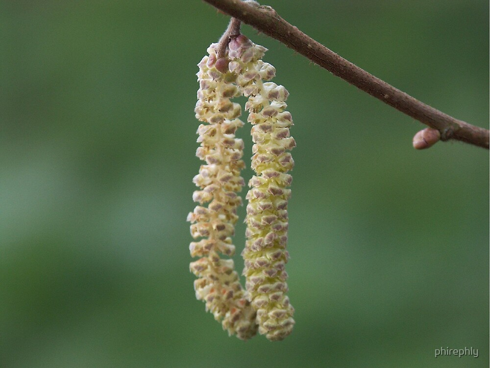 Catkin by phirephly