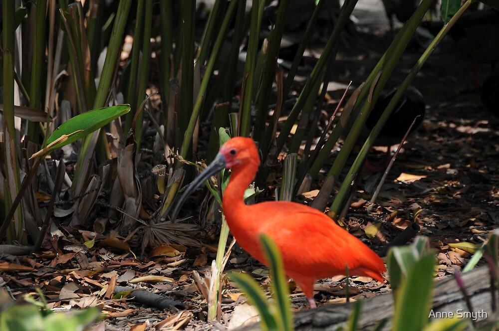 Scarlet Ibis 2 by Anne Smyth