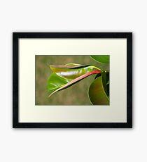Rubber plant/tree Framed Print