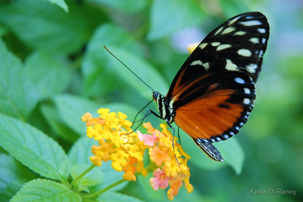 Butterfly1 by Kevin D. Raney