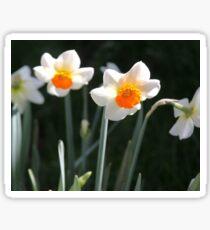 Cheerful Daffodils Sticker