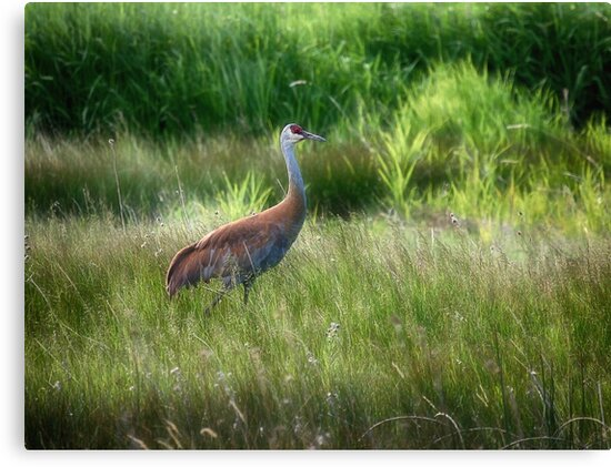 Sand Hill crane - Norris, Montana by Kathy Weaver