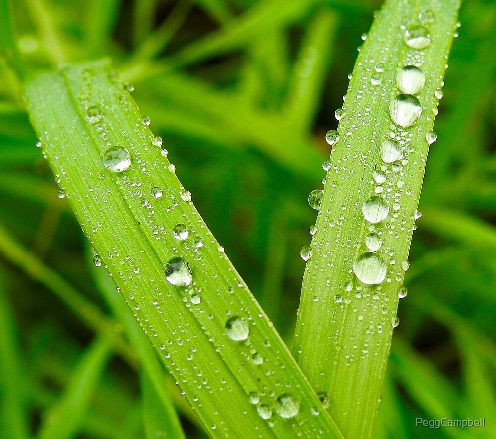 Dew on Grass by PeggCampbell
