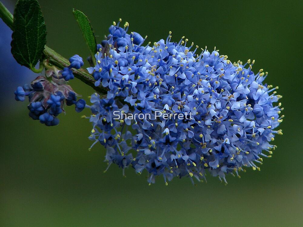 Ceanothus - California Lilac by Sharon Perrett