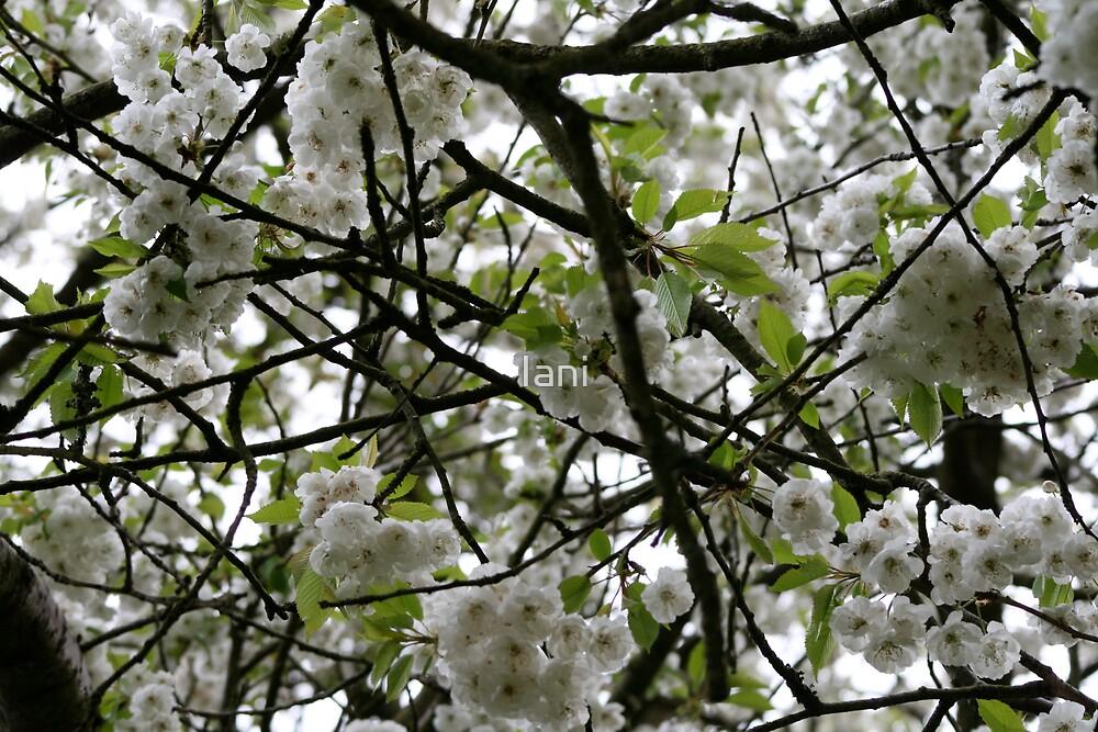 Tree in Bloom by Iani