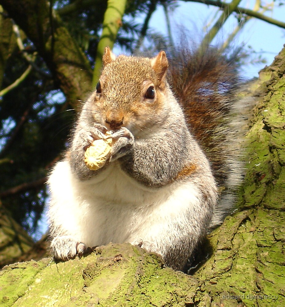 fat squirrel by edward dijmarescu