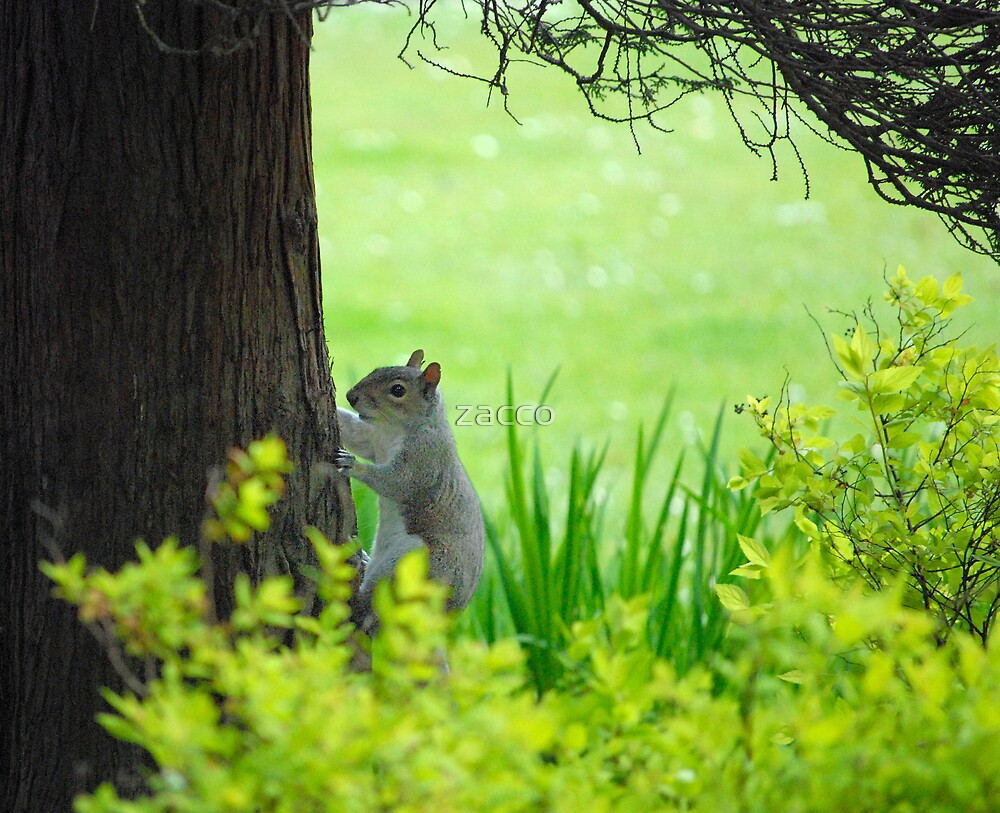 squirrel in the park by zacco