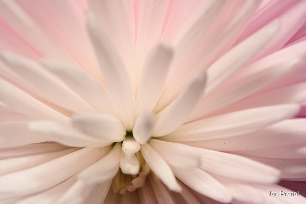 Chrysanthemum bloom by Jan Prchal