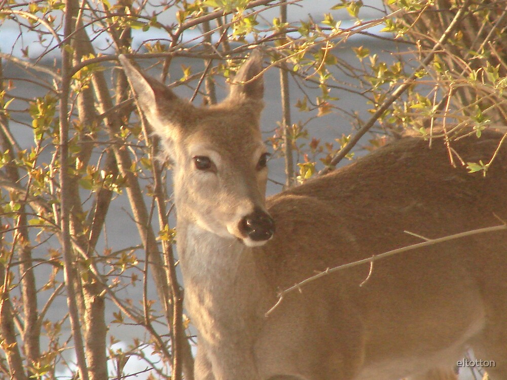 Deer in the Morning Light. by eltotton