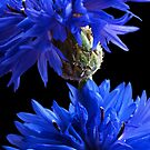 Cornflower Blues by Ann Garrett
