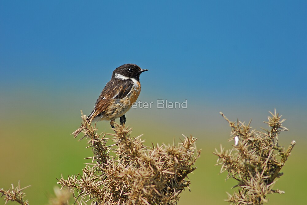 Stonechat by Peter Bland