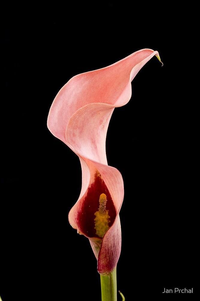calla lili by Jan Prchal
