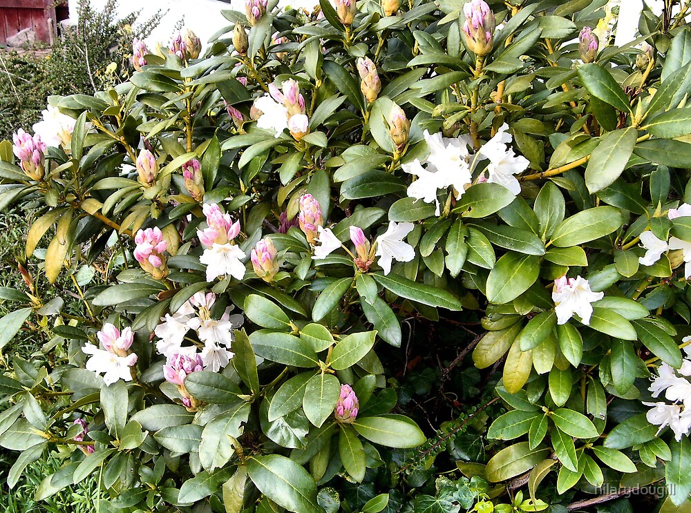 Young Rhodedendron bush by hilarydougill