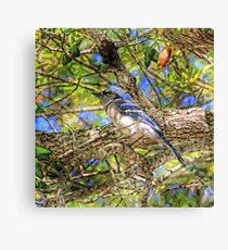 Spring Blue Jay  Canvas Print