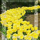 Tulip-trails by Shannon Sadowski