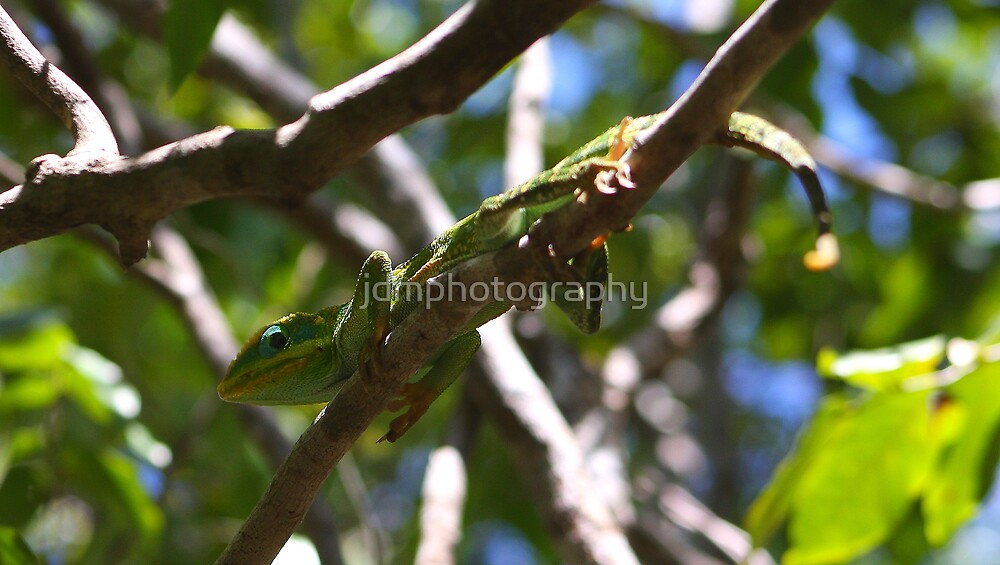 Chameleon From Cuba by jdmphotography
