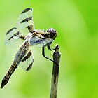 Spotted Dragonfly  by lorilee