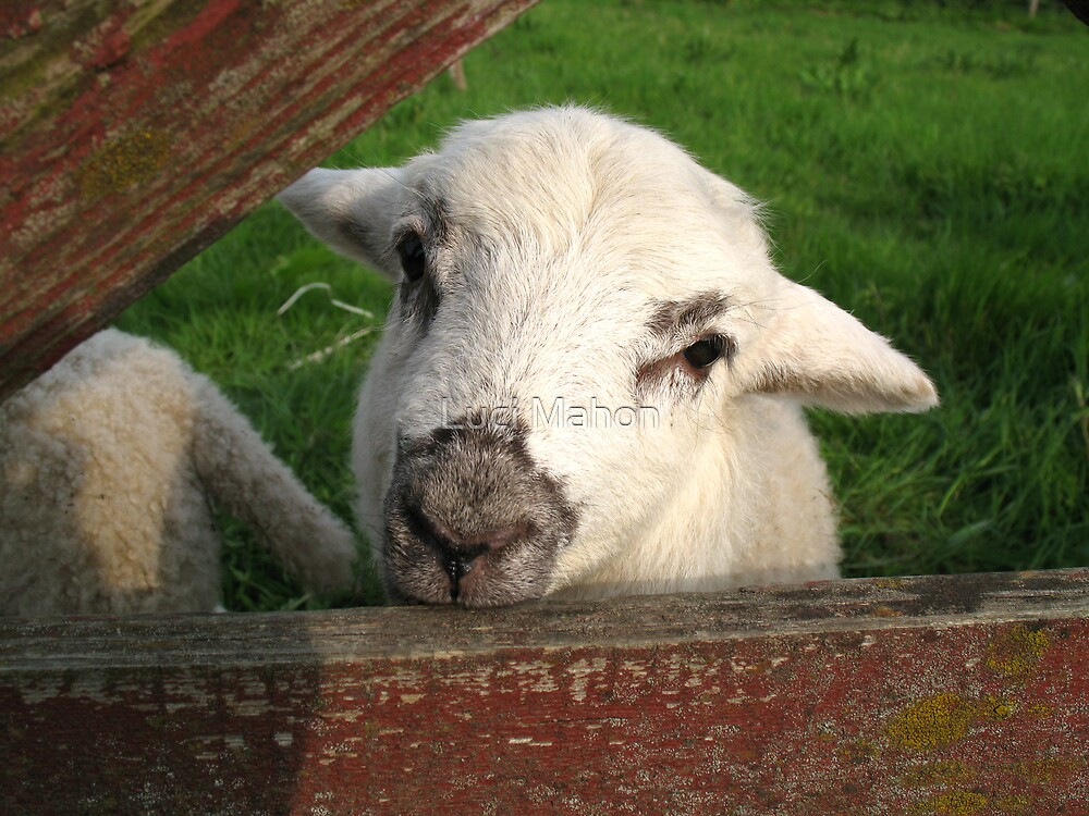 Spring Lamb by Luci Mahon