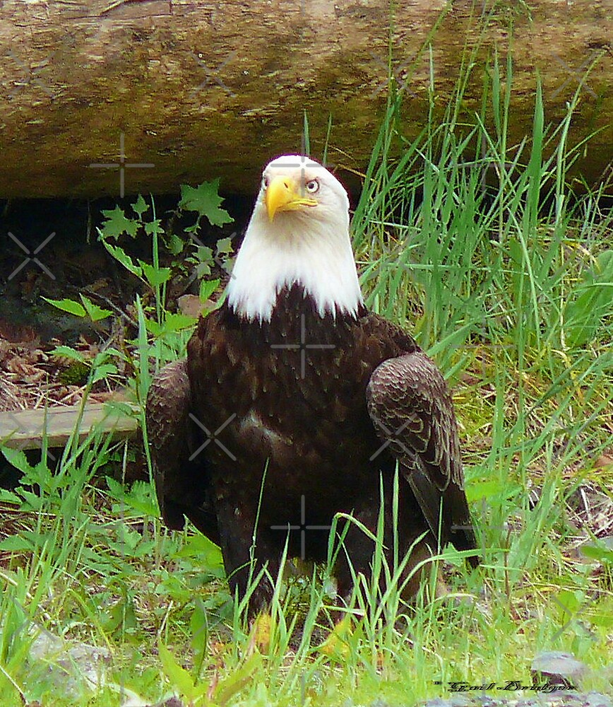 The Eagle Has Landed by Gail Bridger