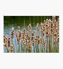 Reeds Photographic Print