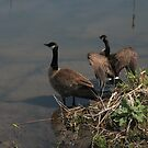 Canada geese by marts1