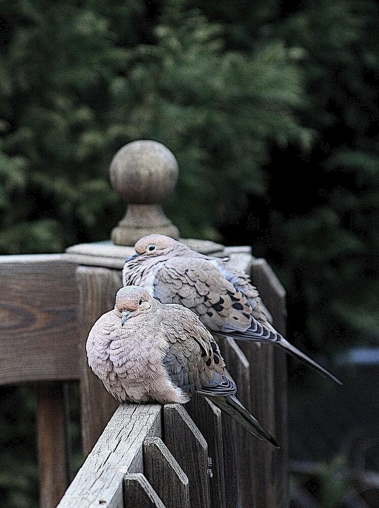 Peace  Doves by shadyuk