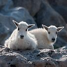 Two Mountain Goat babies resting by Eivor Kuchta