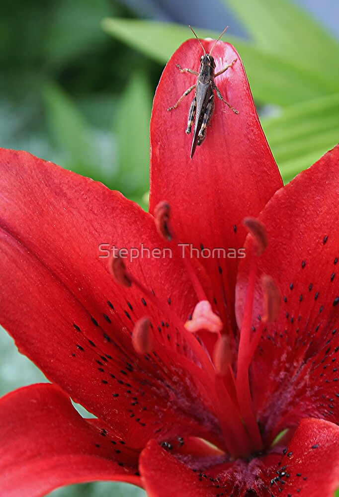 Grasshopper On A Red Lily by Stephen Thomas