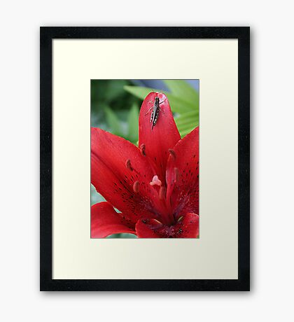 Grasshopper On A Red Lily Framed Print