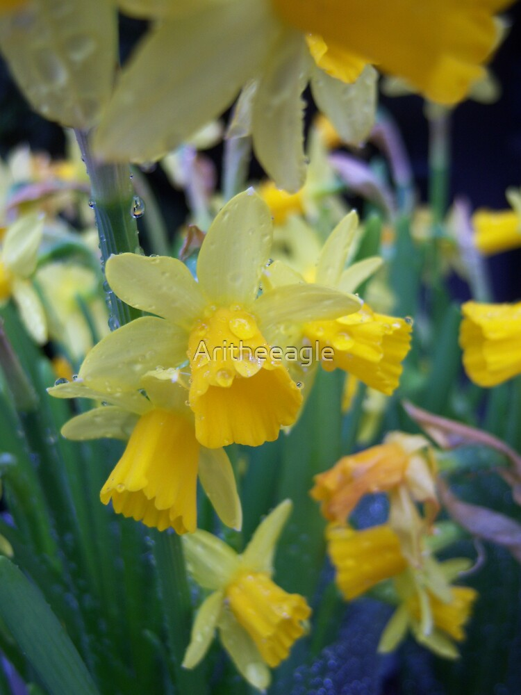 """NATURE .. """"NARCISUS""""! by Aritheeagle"""