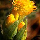 Wildflowers of Western Australia - Nadine Henley by nadine henley