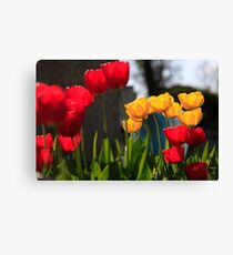 Blooming back lit red and yellow tulip flowers close up Canvas Print