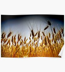 Ripe, Golden wheat stalks in a field before harvest  Poster