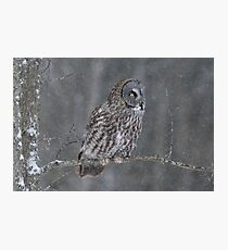 Perching Owl... Photographic Print