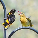 Oriole feeding fledgling.. by Laurie Minor