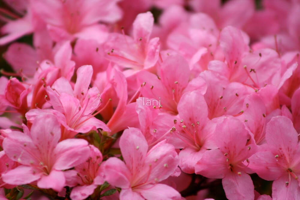 A Mass of Pink  by Iani