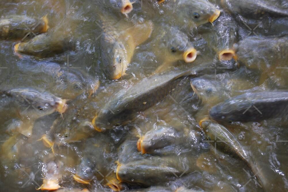 Carp Feeding Frenzy by Peter Green