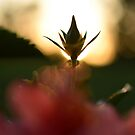 Sunset Bud by scenicvibephoto