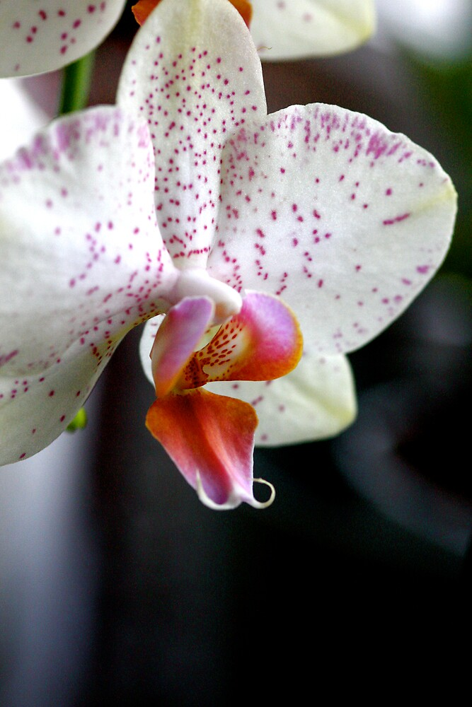 Orchid 1 by Judy Dean